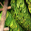 Facts about Tobacco Leaf